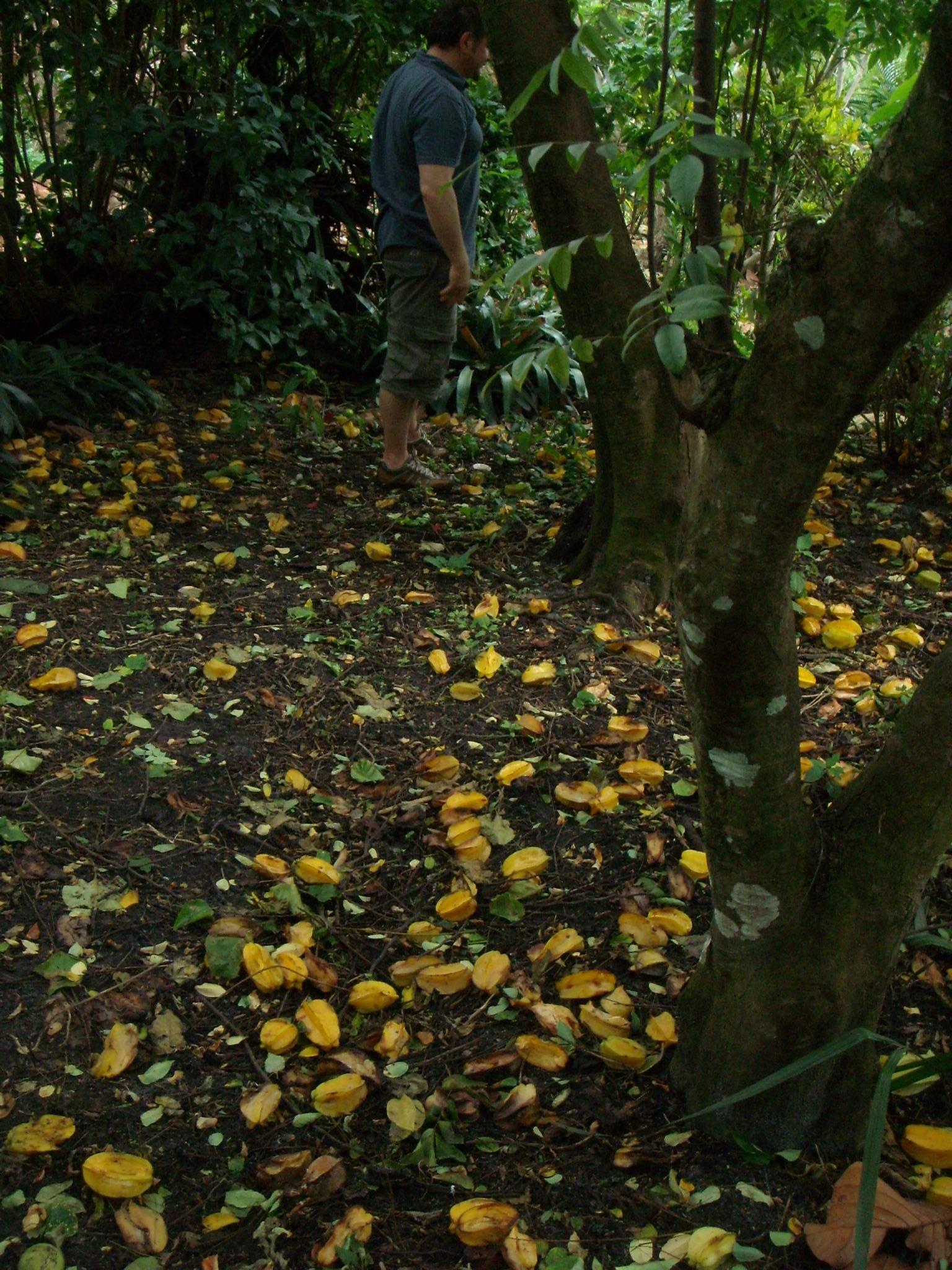 Star Fruit Tree, Mounts Botanical Garden | Serenity Spell