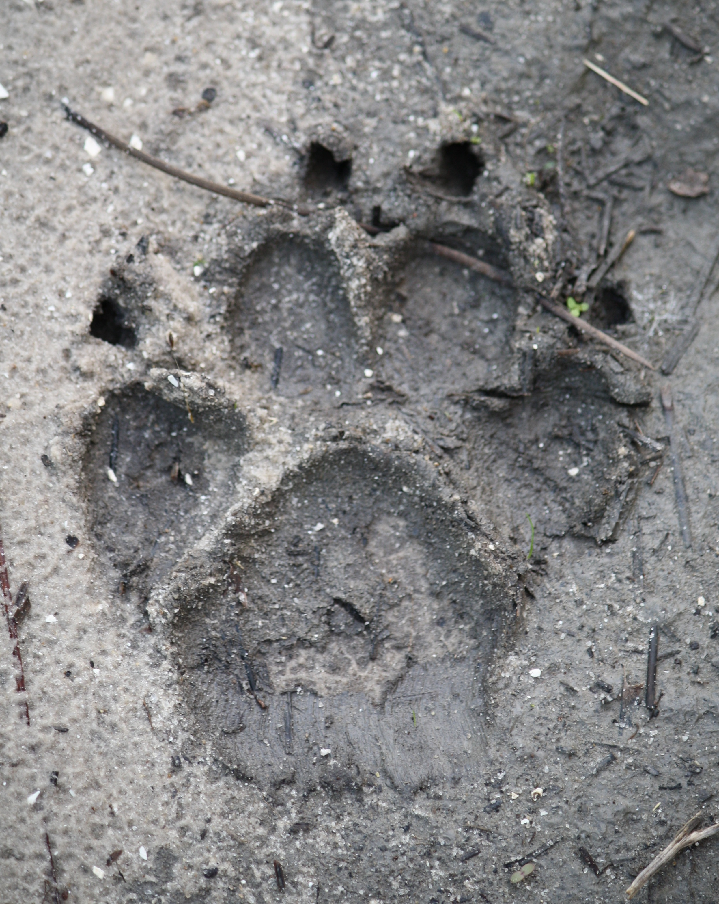 Royal Design Studio Cheetah Spots Animal Print Wall