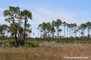 Marshes and Pines at Savannas Preserve State Park, FL