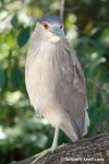 Black-Crowned Night Heron at Flamingo Gardens in Davie, Florida