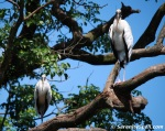 Roosting Wood Storks at Flamingo Gardens in Davie, Florida