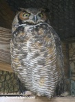 Great-horned Owl at Flamingo Gardens in Davie, Florida