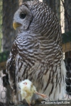 Barred Owl at Flamingo Gardens in Davie, Florida