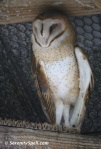 Barn Owl at Flamingo Gardens in Davie, Florida