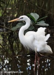 White Egret in the Aviary, Flamingo Gardens in Davie, Florida