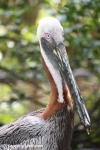 Pelican in the Aviary, Flamingo Gardens in Davie, Florida