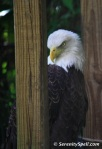 American Bald Eagle at Flamingo Gardens in Davie, Florida
