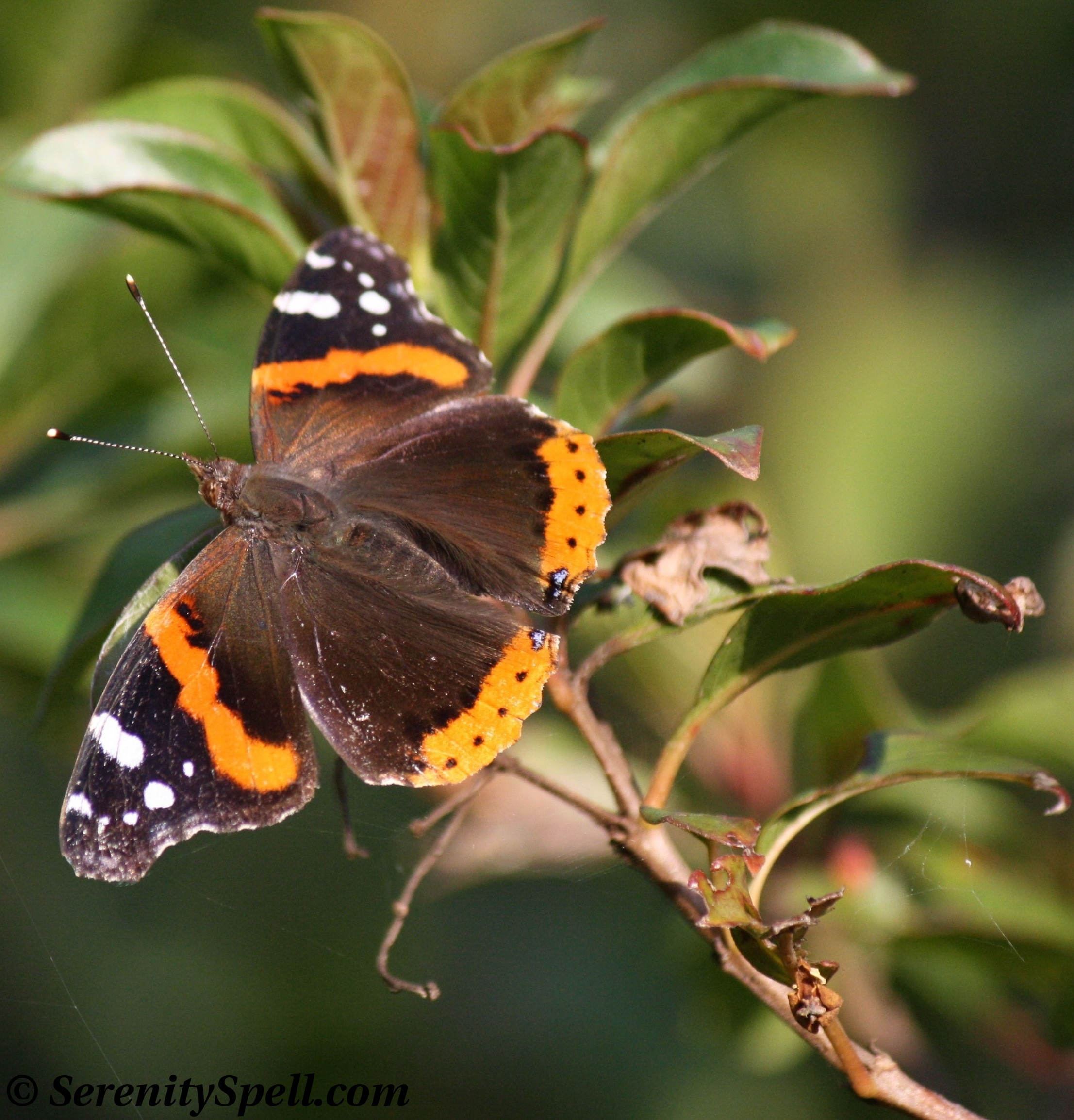 "Nabokov's ""Butterfly of Doom"": The Red Admiral 