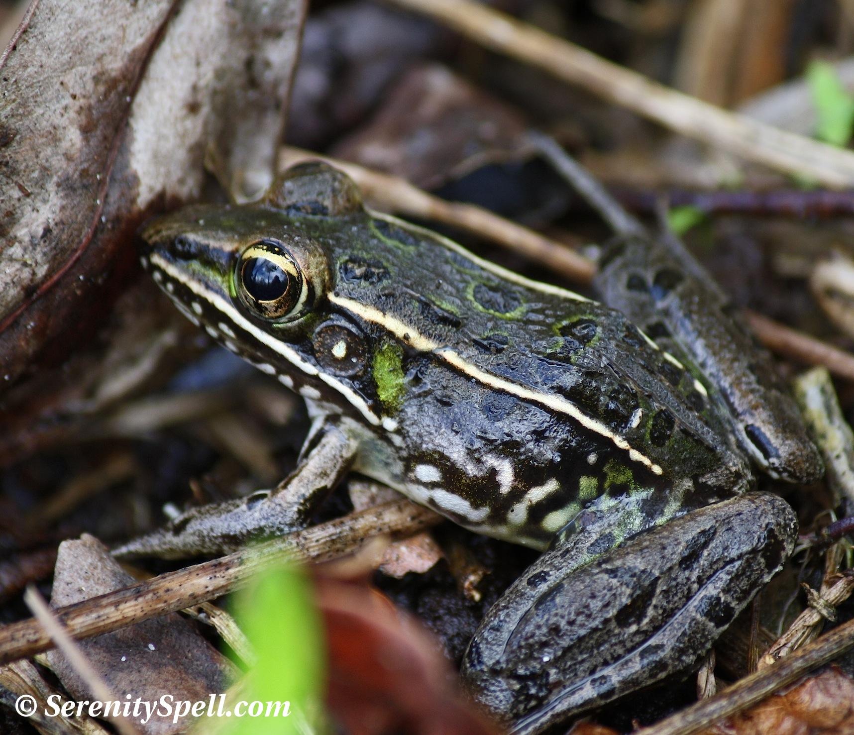 Wild Herps - Southern Leopard Frog (Lithobates sphenocephalus)