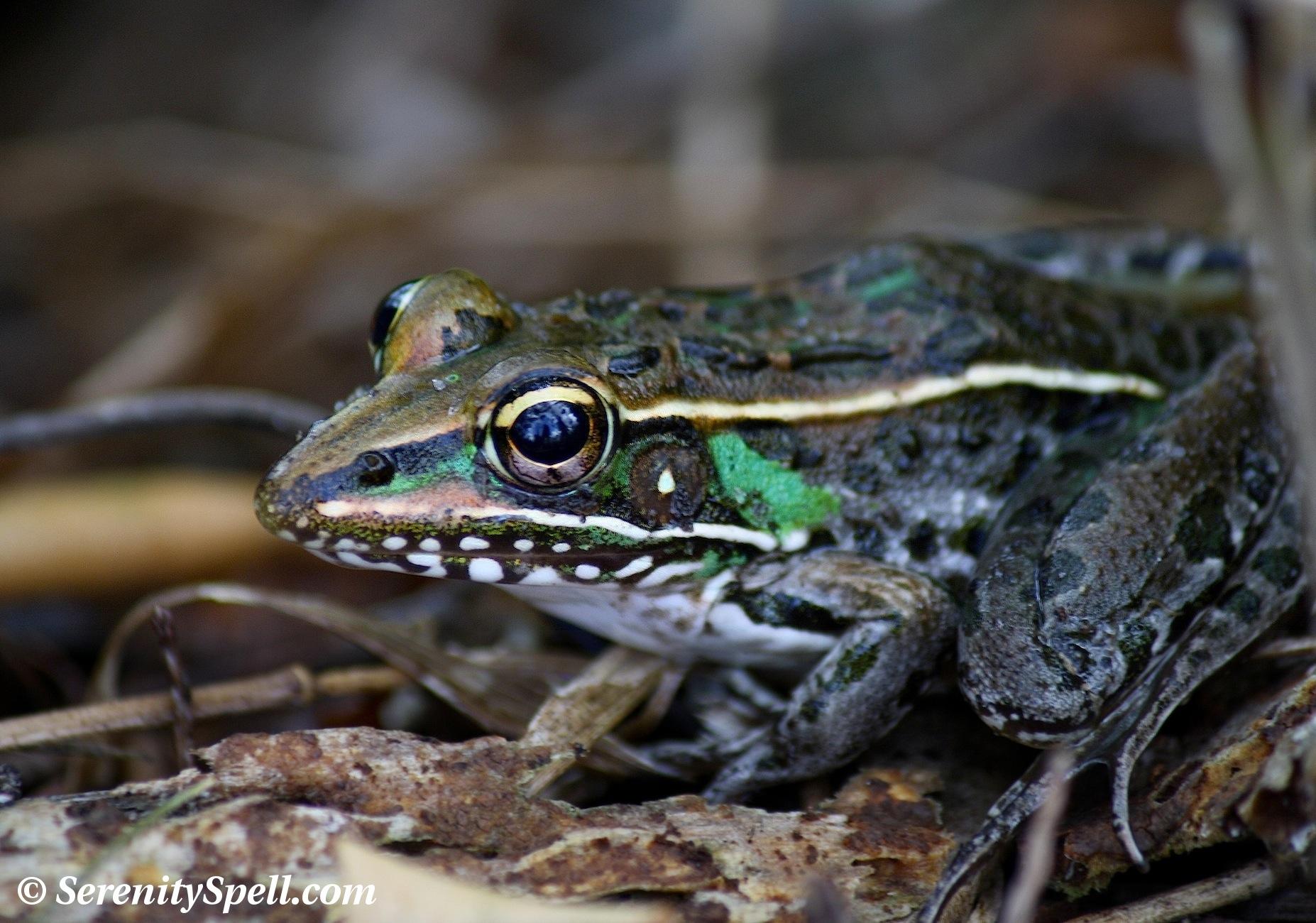 Florida bog frog | Florida Everglades tours