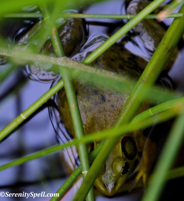 Gotcha Pig Frog Serenity Spell