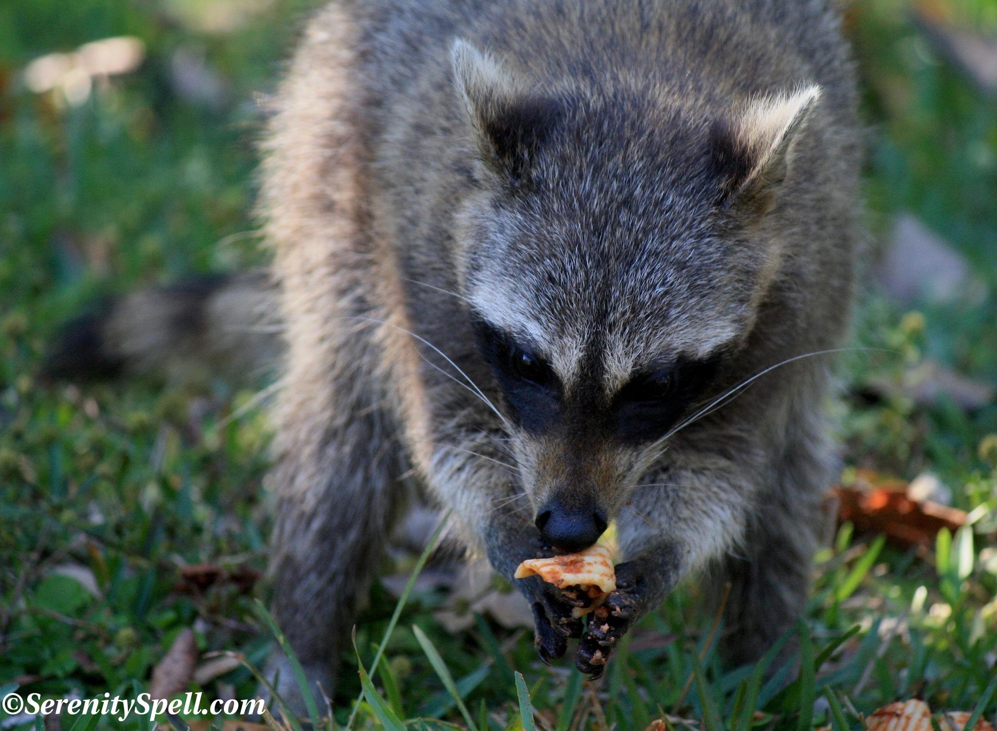 Raccoons Serenity Spell