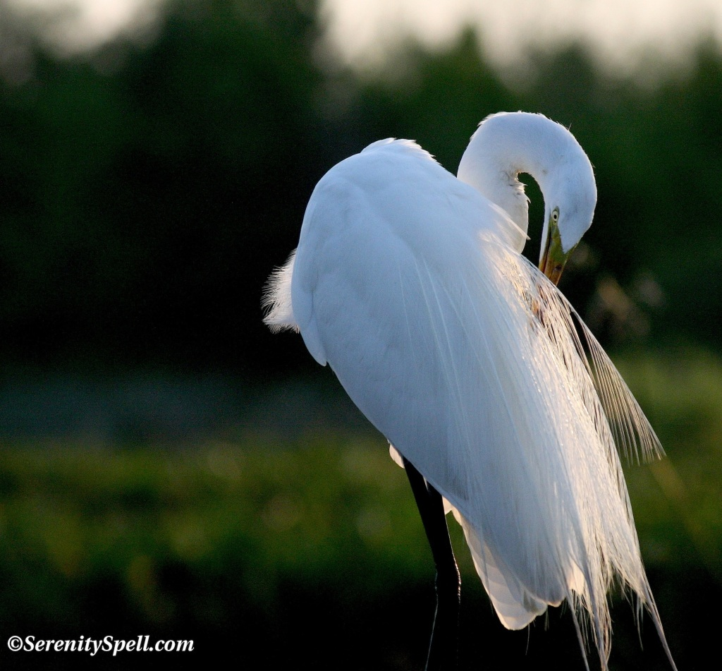 Great Egret in Breeding Plumage, Florida Wetlands