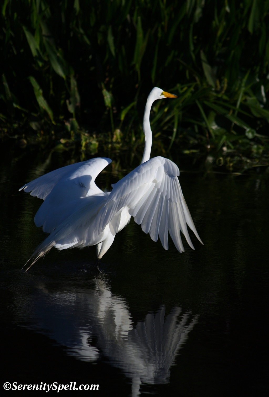 Great Egret Wading, Florida Wetlands