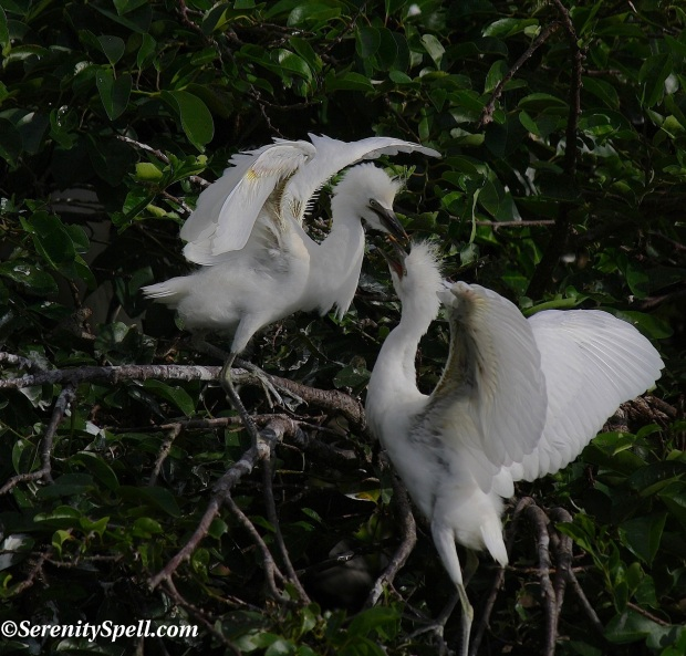 Juvenile Cattle Egrets in Protected Florida Wetlands