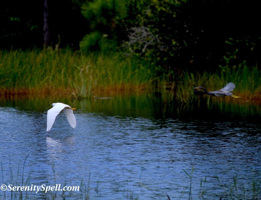 Wading Friends at the Cypress Creek Natural Area, Jupiter, Florida