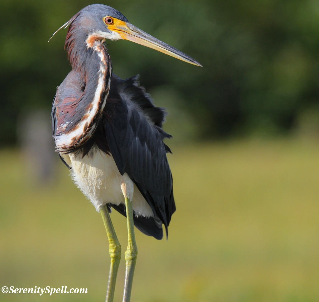 Tricolored (Louisiana) Heron, Florida Wetlands