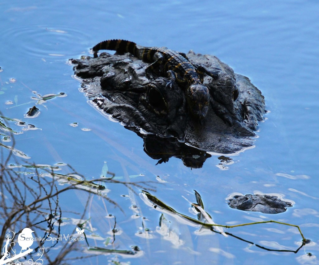 Mother Alligator and Hatchling in the Florida Wetlands