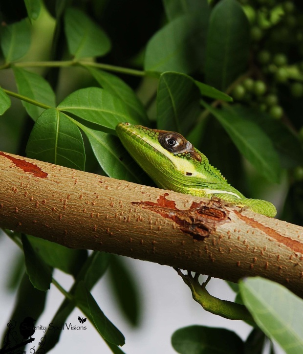 Knight Of The Anoles