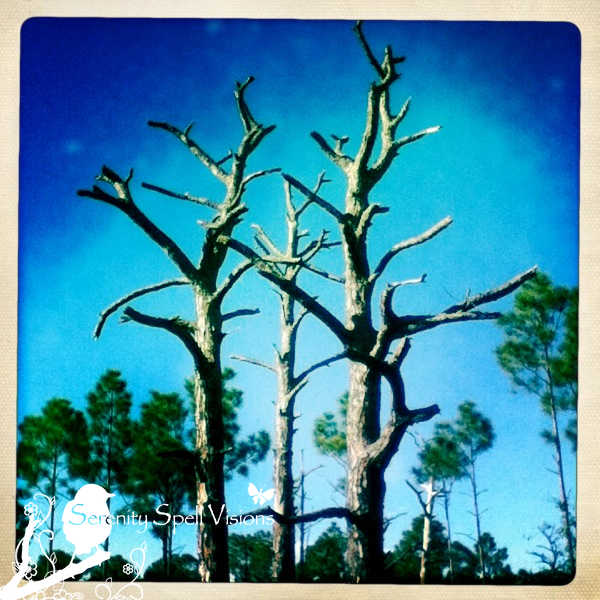 Controlled Burned and Thriving Slash Pines at Bluefield Ranch Natural Area
