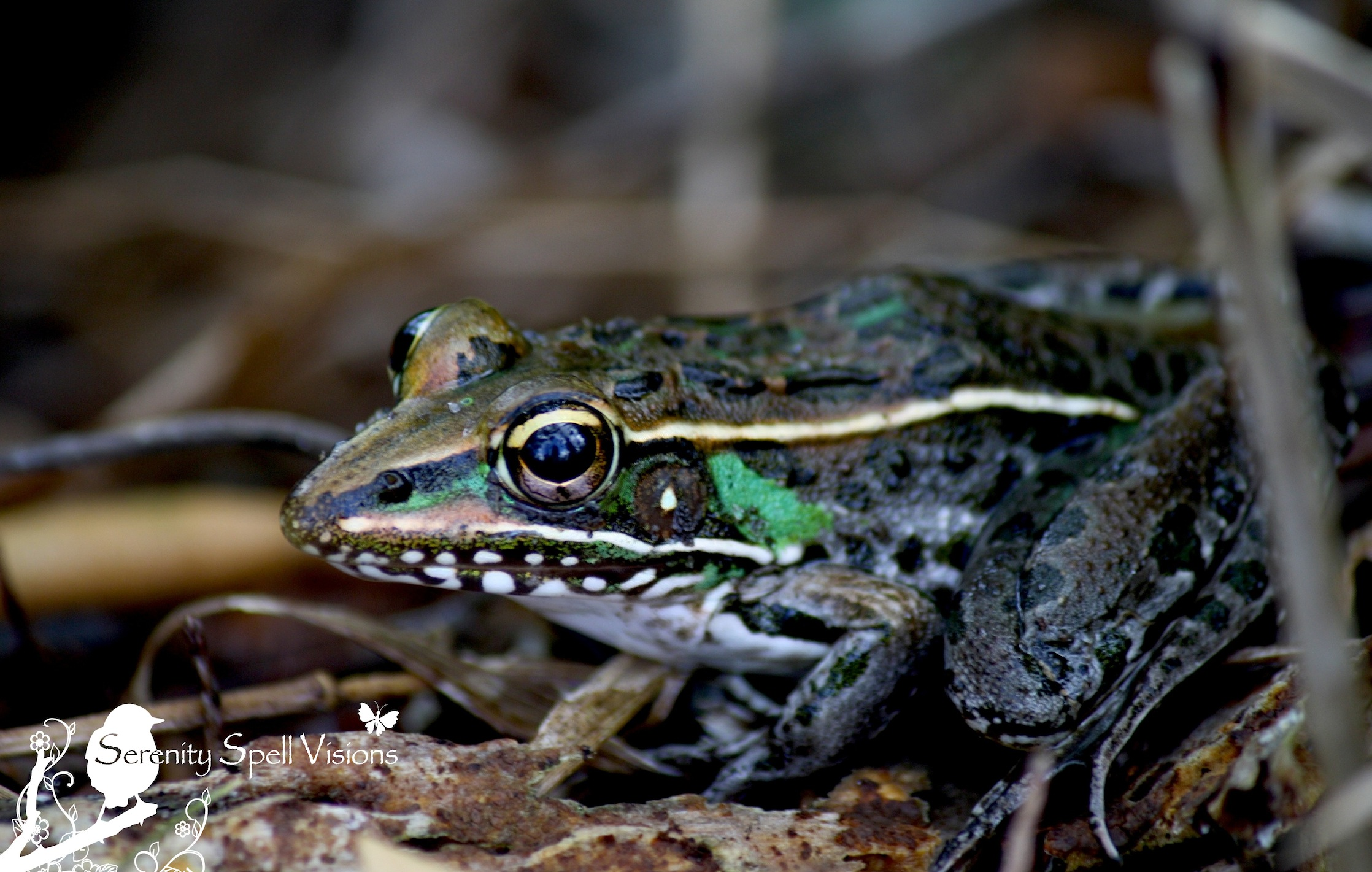 Green Tree Frog : Everglades National Park, Florida : Florida ...