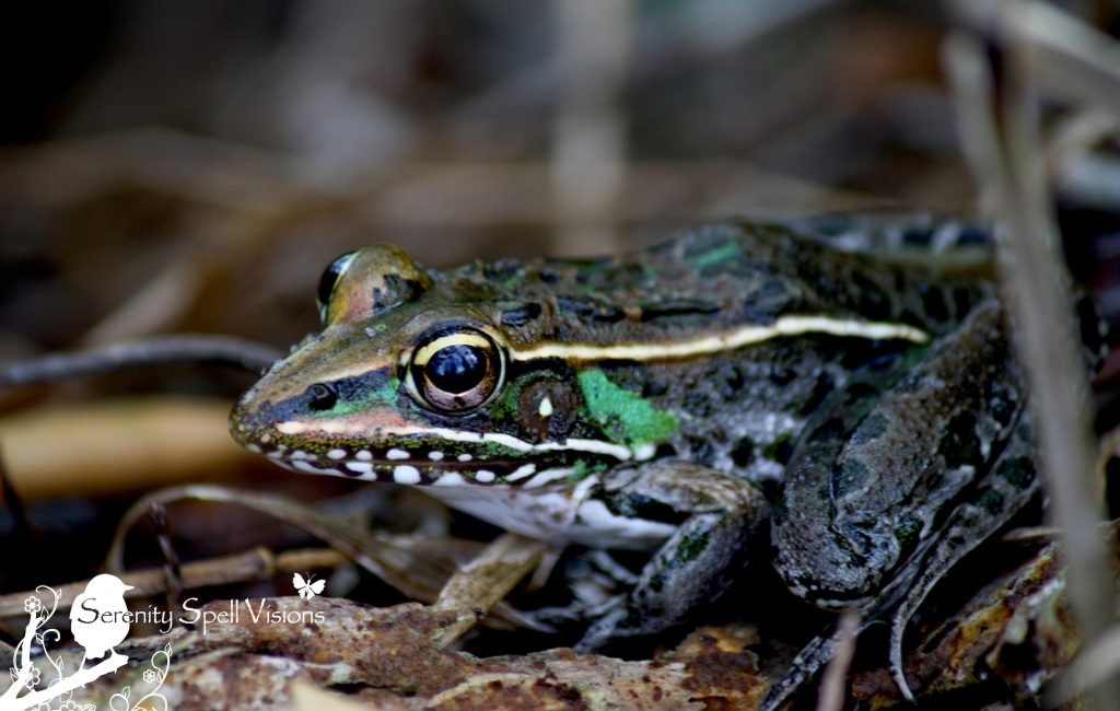 A bright and lovely cricket frog in the Everglades