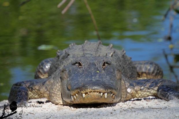 Sunning Alligator in the Florida Everglades