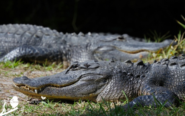 Alligator Pair in the Everglades, Florida