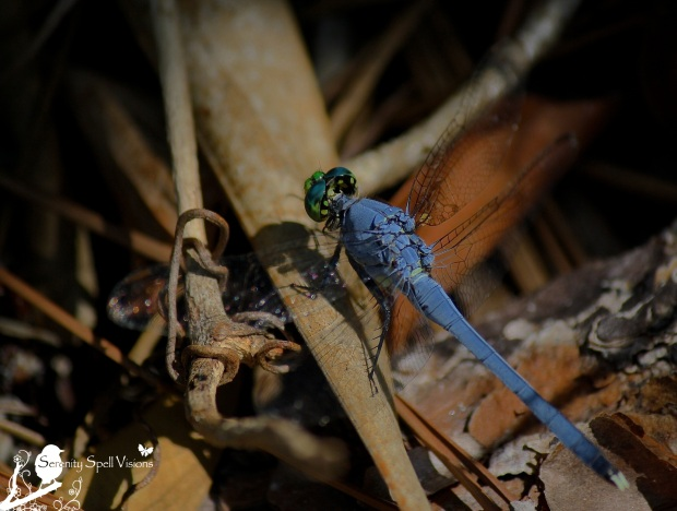 Blue Dragonfly, Grassy Waters Preserve, Florida