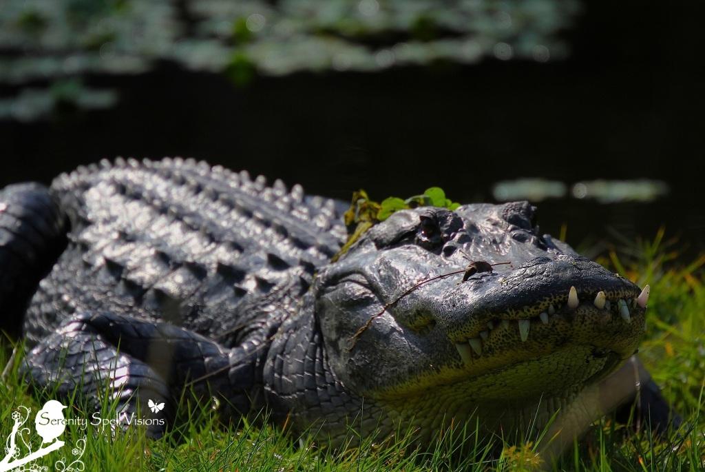 Sunning Alligator in the Everglades, Florida