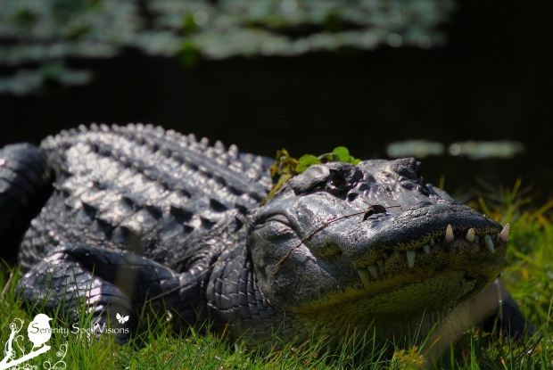 Sunning Alligator in the Everglades, Florida