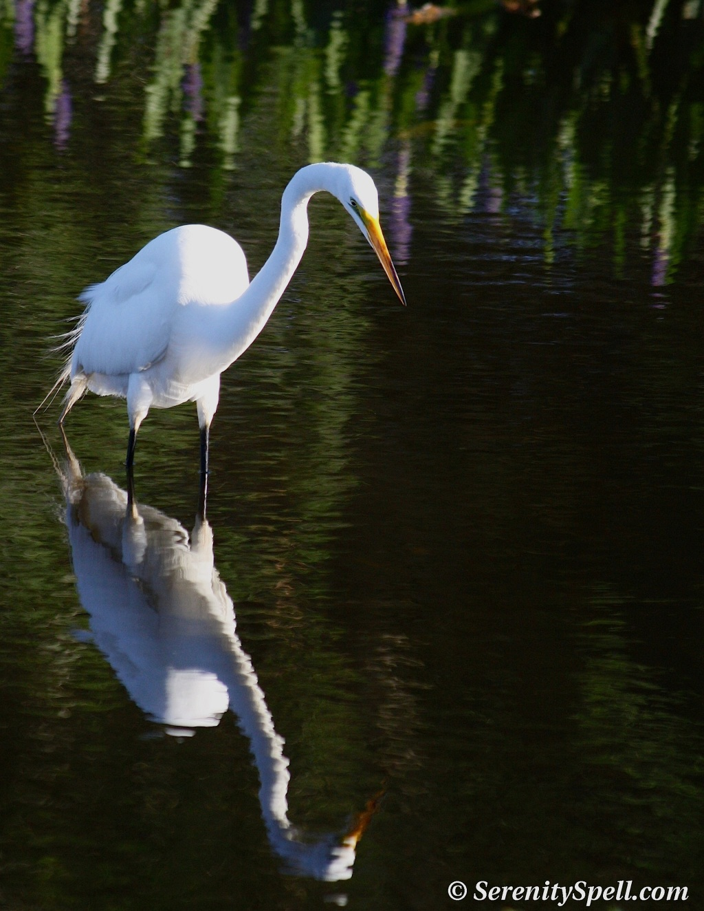 Great Egret Stalking Meal, Florida Wetlands