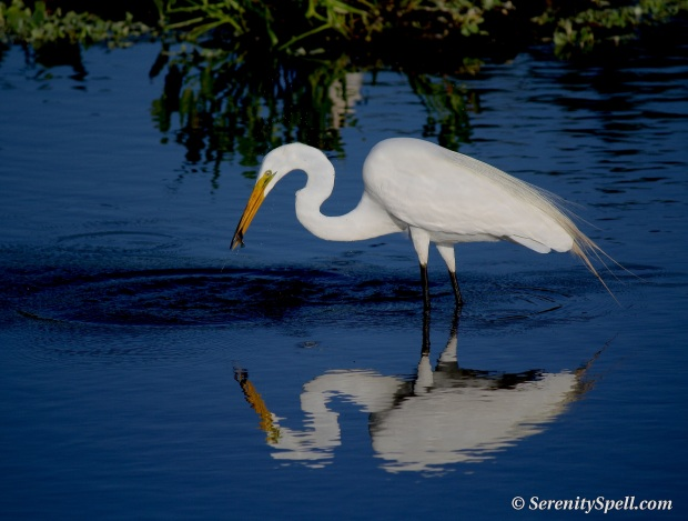 Great Egret with Fish, Florida Wetlands