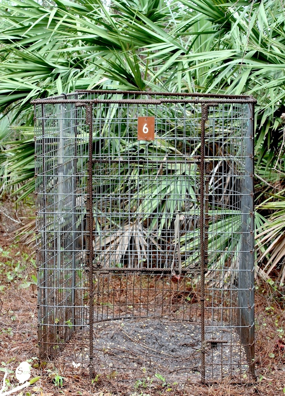 Feral Hog Trap, Atlantic Ridge Preserve State Park