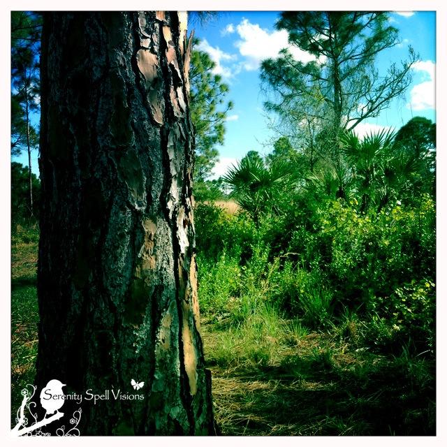 Slash Pine Close-up, Atlantic Ridge Preserve State Park