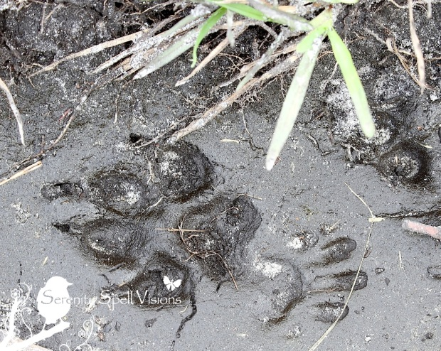Coyote Prints, Atlantic Ridge Preserve State Park