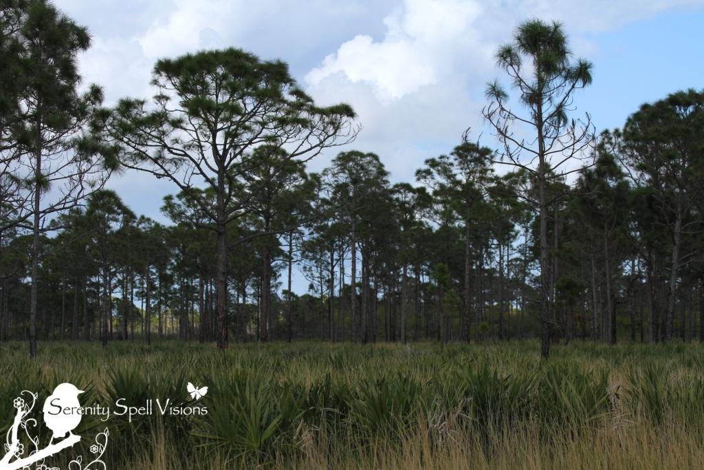 Pine Flatwoods, Atlantic Ridge Preserve State Park