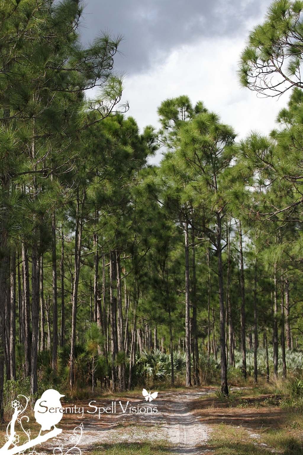 Pines in the Atlantic Ridge State Park, Florida