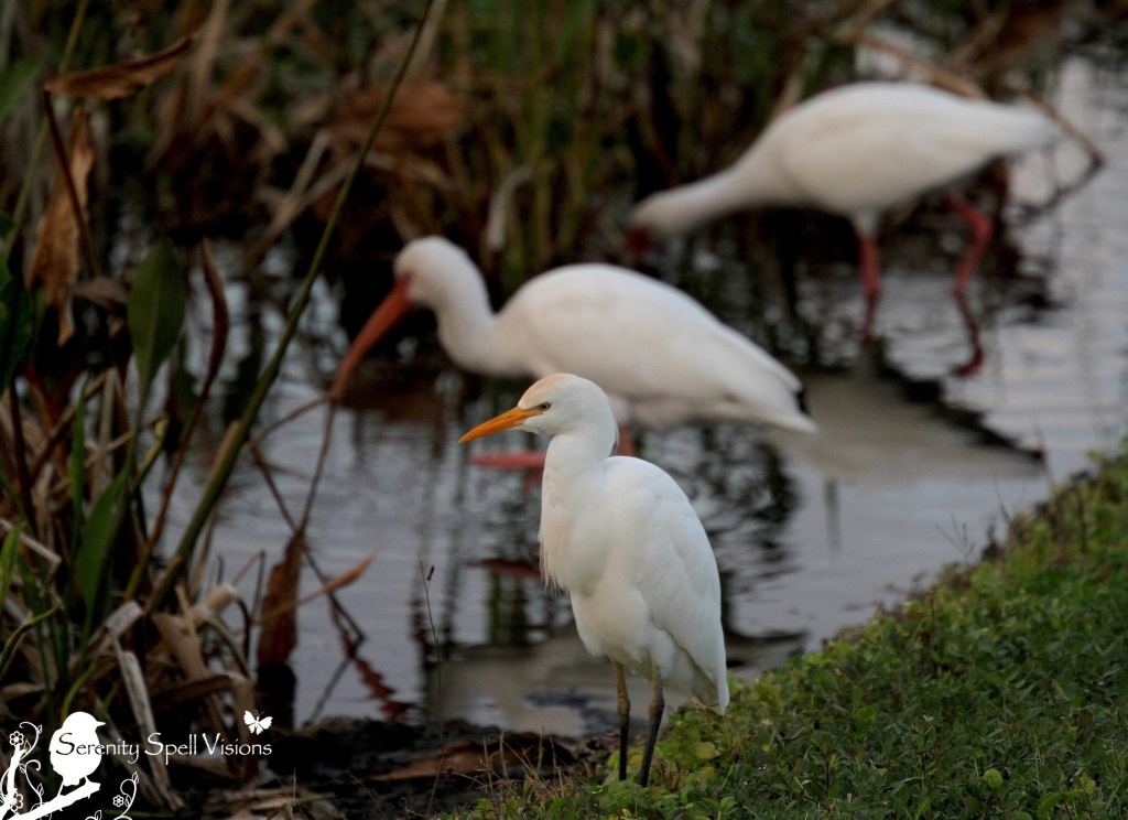 Cattle Egret and Ibis in the Florida Wetlands