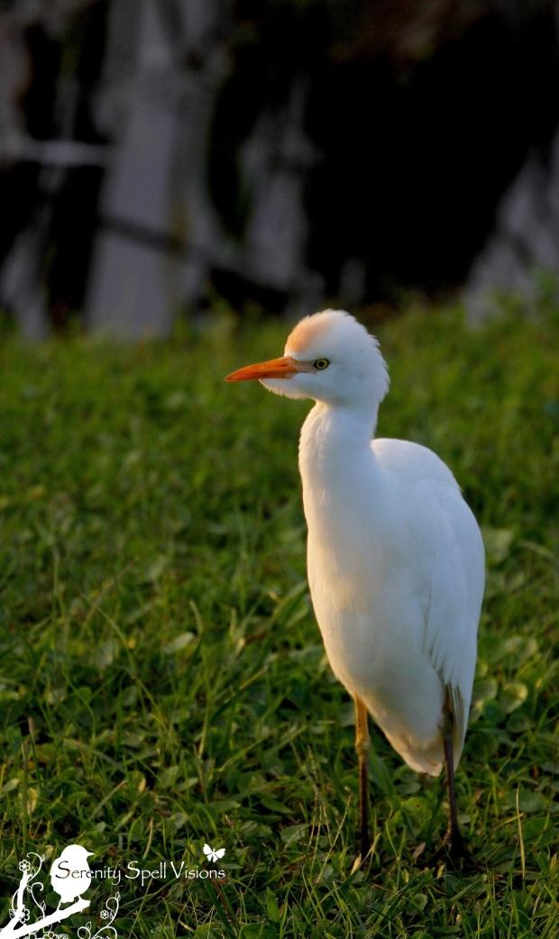 Cattle Egret in the Florida Wetlands