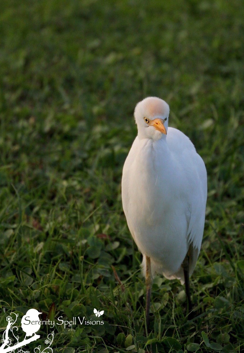 Cattle Egret in the Florida Wetlands