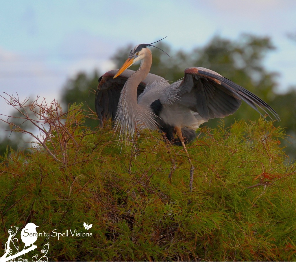 Great Blue Heron, Florida Wetlands