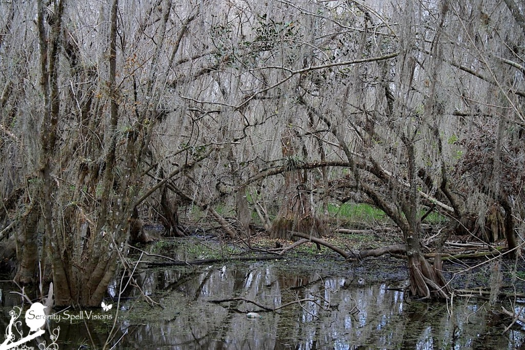 Cypress Swamp of the Big Cypress National Preserve