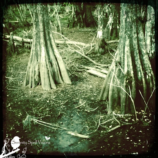 Cypress Trees in the Big Cypress National Preserve, Florida