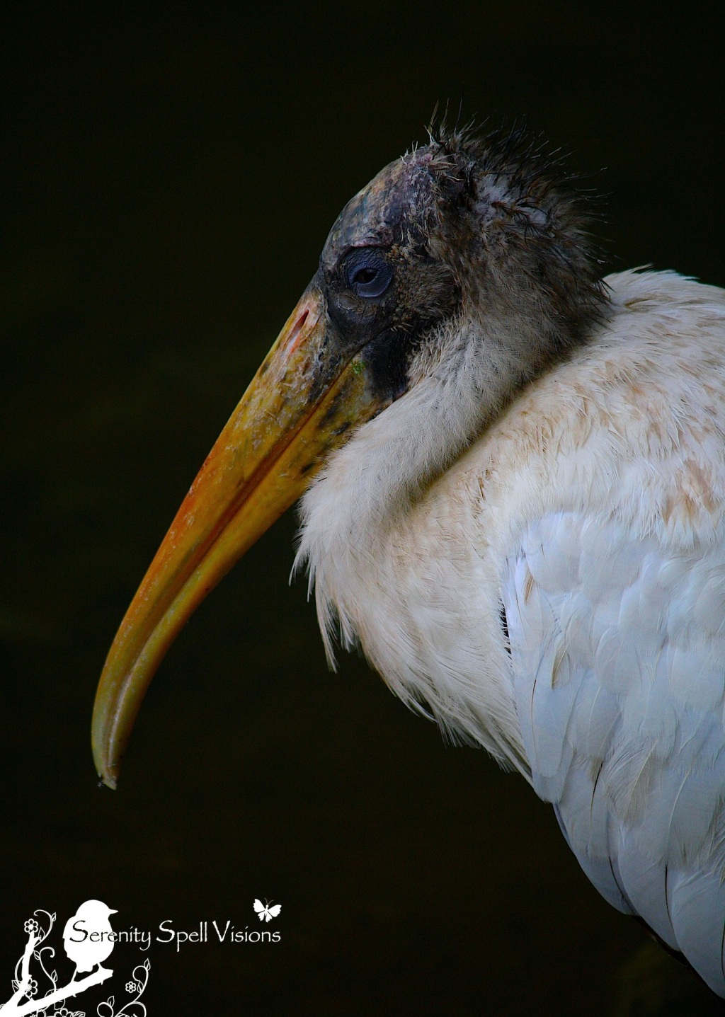 Wood Stork in the Florida Wetlands