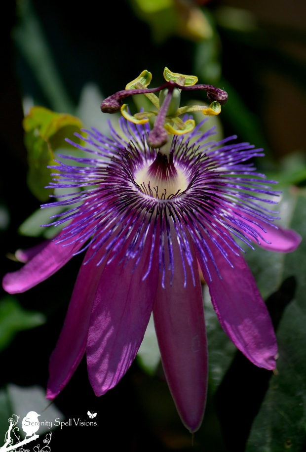 "Passion Flower (Passiflora), ""Lavender Lady"""