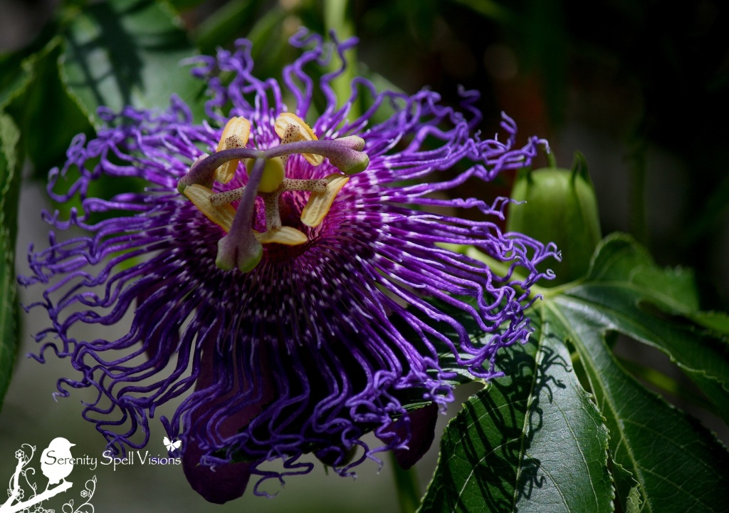 "Passion Flower (Passiflora), ""Inspiration"""