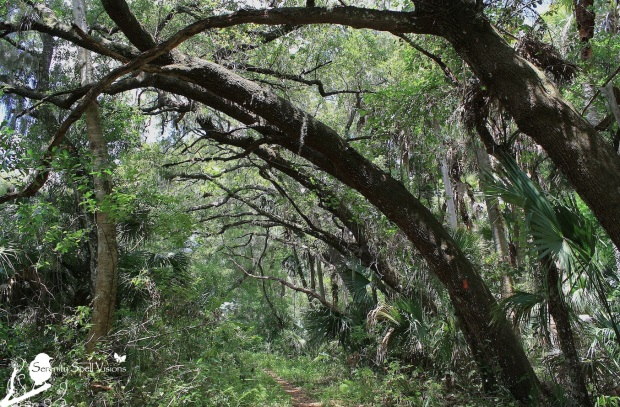 Oak Trees of the Florida Trail, Jonathan Dickinson State Park, Florida