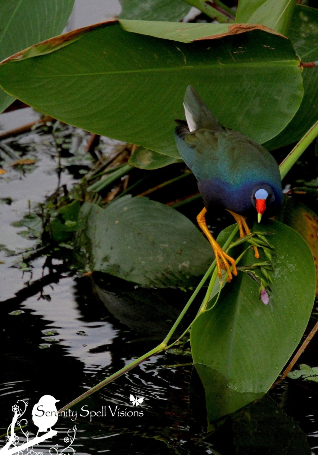 Purple Gallinule, Green Cay Wetlands, FL