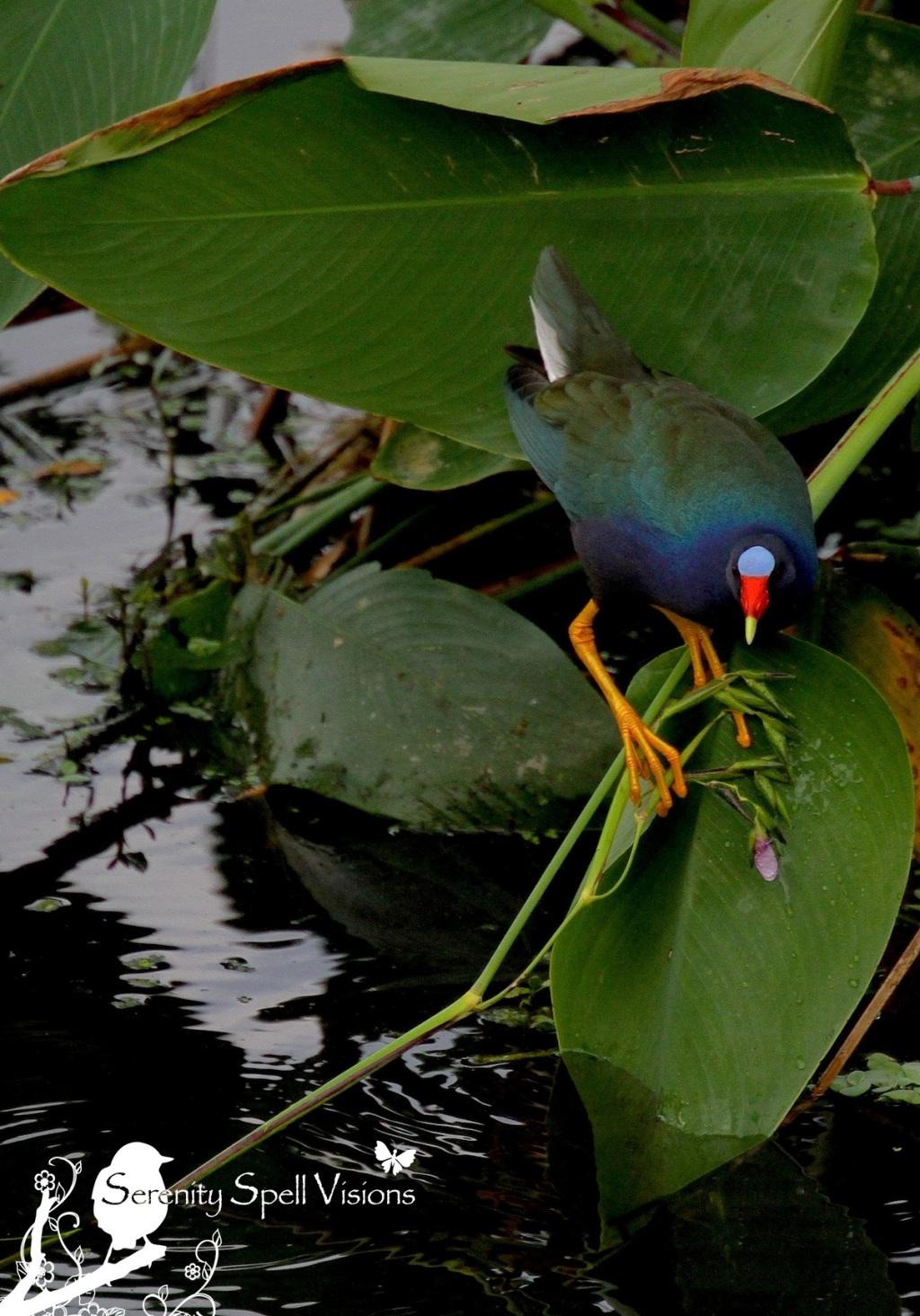 Purple Gallinule, Green Cay Wetlands, FL